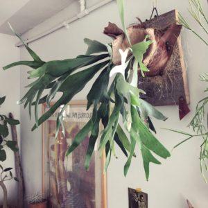 インテリアに映える観葉植物①/ビカクシダ