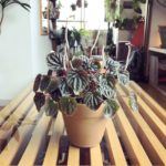ペペロミア・カペラータの花と育て方