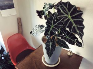 【インテリアに映える観葉植物③】アロカシア・ポリー