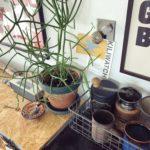 【インテリアに映える観葉植物⑤】ミルクブッシュ