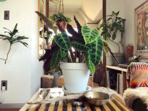 インテリアに映える観葉植物⑥ カラテア・ワルセウィッチ