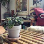 インテリアに映える観葉植物⑦/ジュエル・オーキッド