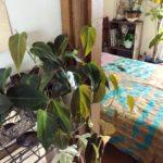 シェルフにおすすめの植物/フィロデンドロン・ビロードカズラ