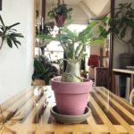 真夏の窓際に置きたい植物/アデニウム・アラビカム