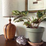 目線の高さに置きたい植物/カラテア・マコヤナ