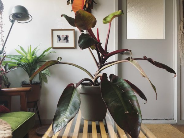 情熱的な植物/フィロデンドロン・インペリアルレッド
