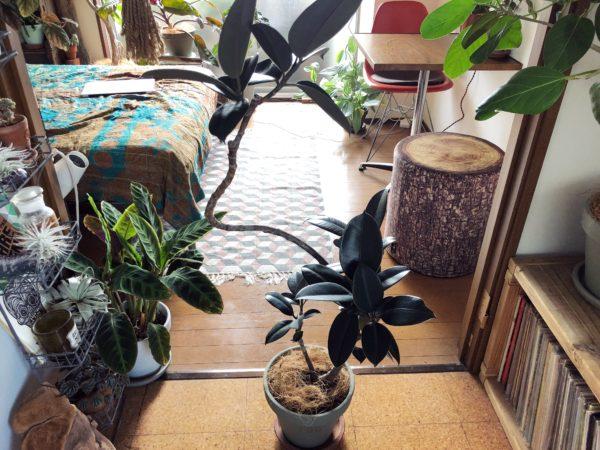 大人な雰囲気の植物/フィカス・バーガンディ