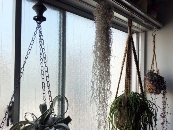 【ハンギングにおすすめの植物②】ウスネオイデス