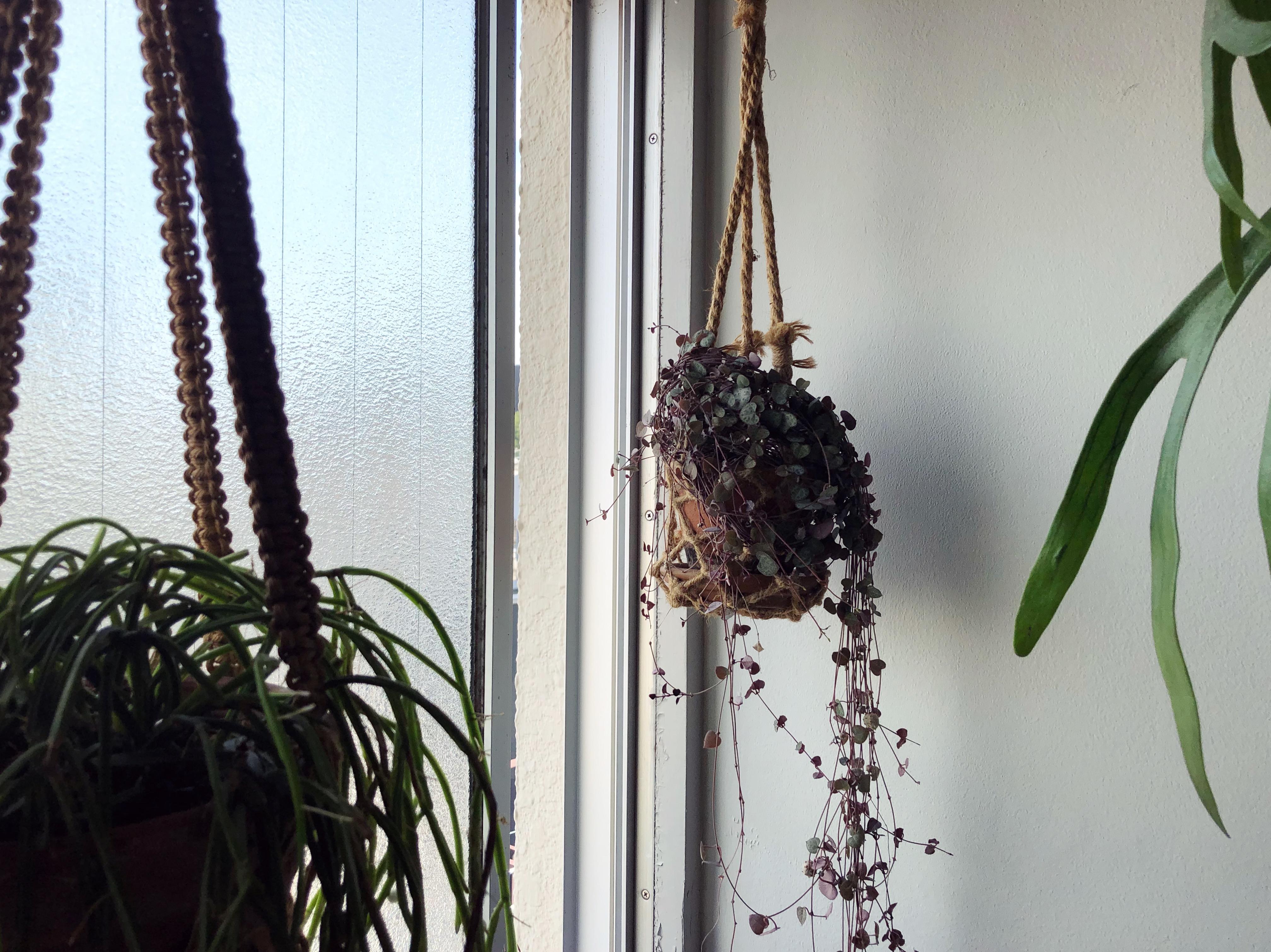 【ハンギングにおすすめの植物】ハートカズラ