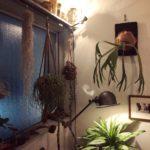 【観葉植物と照明の良い関係】ビカクシダ
