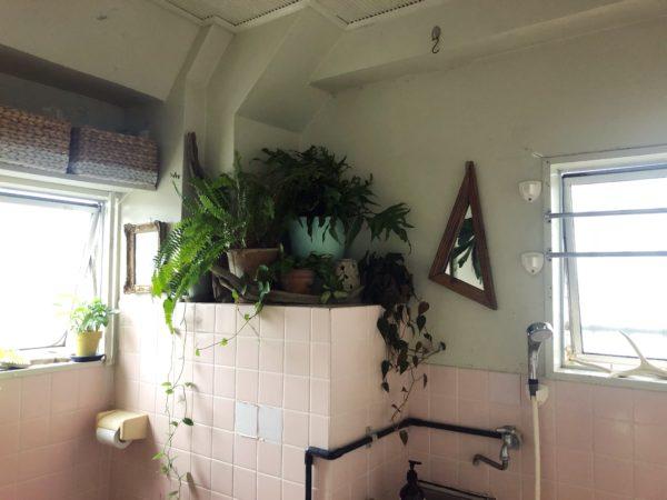 バスルームジャングル化計画④/ビロードカズラ-プエブコのミラー