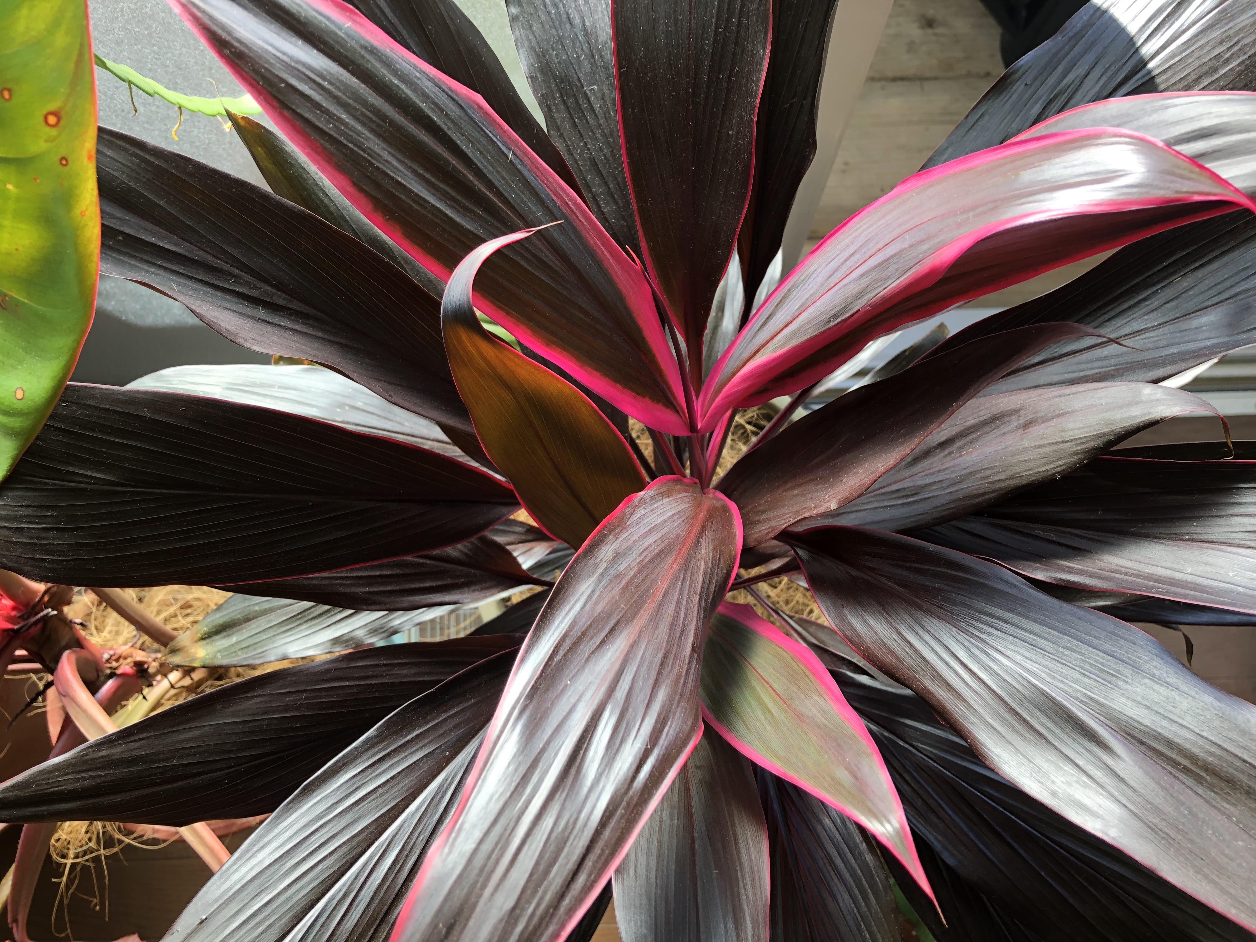 艶やかでダイナミックな植物/コルジリネ・アイチアカ