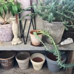 ベランダガーデンにおすすめの植物/ユーフォルビア・ミルシニテス
