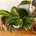 植物の生長とインテリアの関係/カラテア・ワルセウィッチ