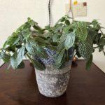 繊細な網目をもつ植物/フィットニア
