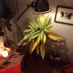観葉植物と照明の関係①