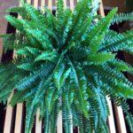 ジャングルインテリアにかかせない植物/タマシダ