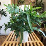 育てやすい植物の代表格/フレボディウム・ブルースター