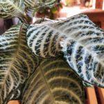 美しい葉脈を持つ植物/アフェランドラ・ダニア