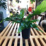 ロックな模様をもつ植物/クロコダイルファーン