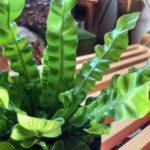 日陰にはこの植物/アスプレニウム・エメラルドウェーブ