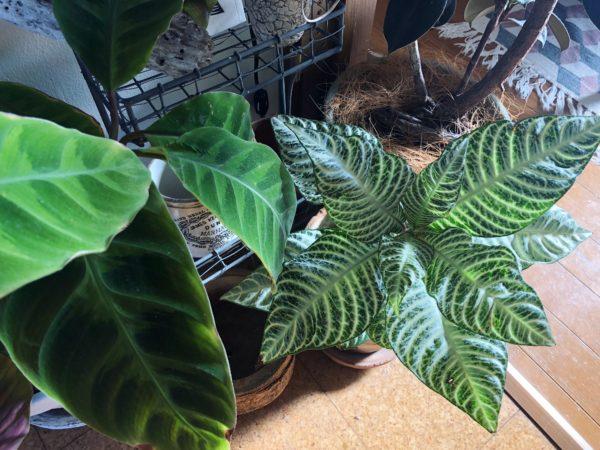 水やりサインを発する植物/アフェランドラ・ダニア