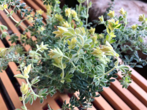美しくてタフな植物/ロータス・ブリムストーン