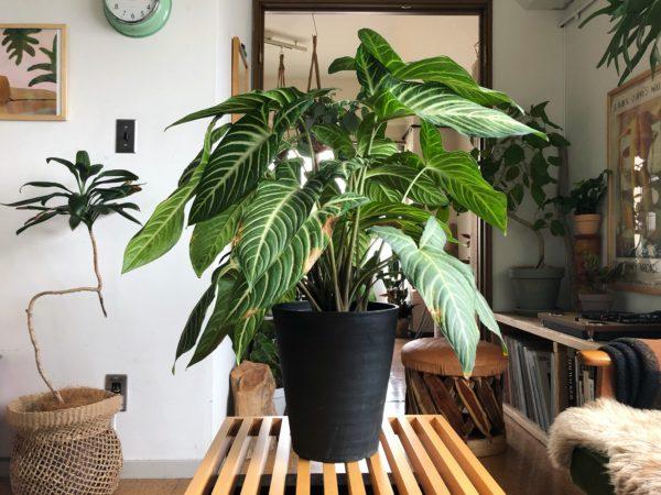 お部屋に映える大きな葉物植物/カラディウム(キサントソーマ)・リンデニー