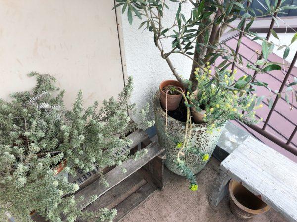 【玄関先を飾ろう⑦】ロータス・ブリムストーン