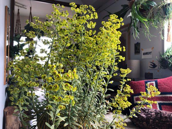 繊細かつタフ。ベランダガーデンにおすすめの植物/ユーフォルビア