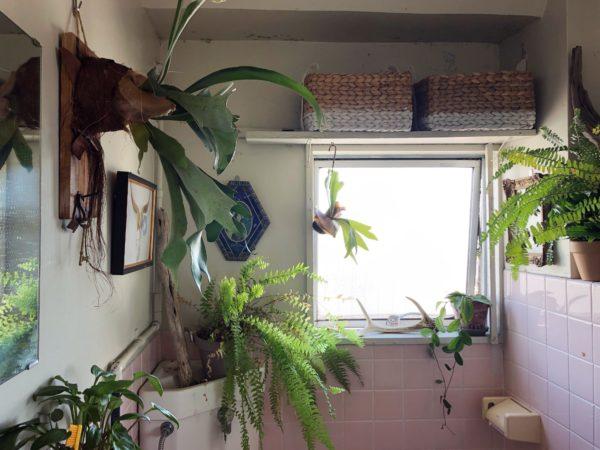 ビカクシダ コウモリラン バスルーム
