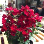 花の色をアクセントに/バーベナ