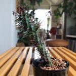 小悪魔的な魅力を持つ植物/ユーフォルビア・紅彩ロリカ