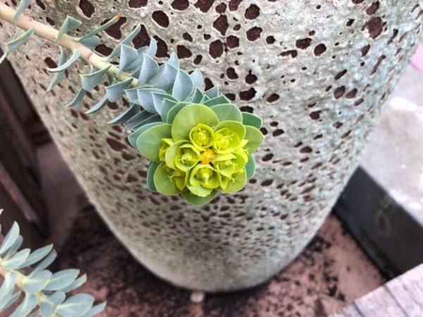 【玄関先を飾ろう⑥】ユーフォルビア・ミルシニテスの花