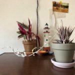 ハオルチア・十二の巻の花