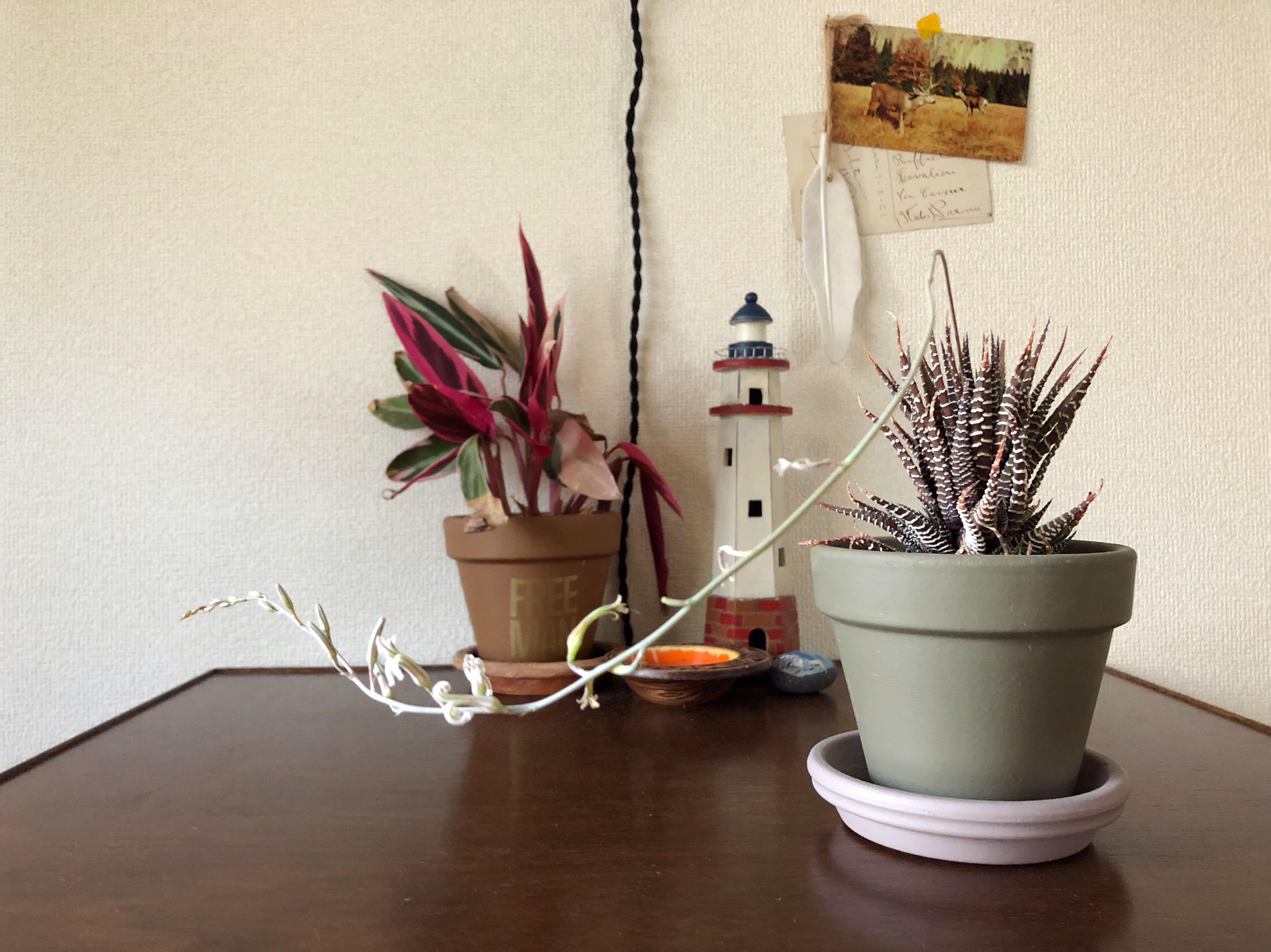 ハオルチア 十二の巻 花