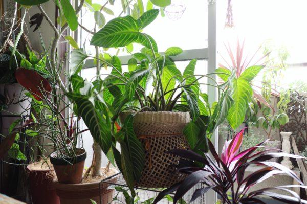 植物の向きはこまめに変えよう【カラディウム・リンデニー】
