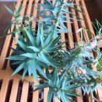 【ベランダガーデンに映える植物】ユーフォルビア