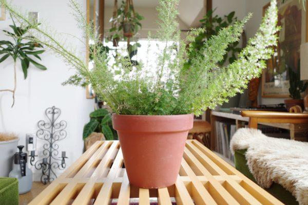 アスパラガス・スプレンゲリーの花と置く場所