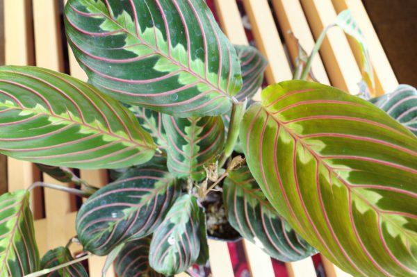 またまた好みの植物に出会いました【マランタ・レウコネウラ】