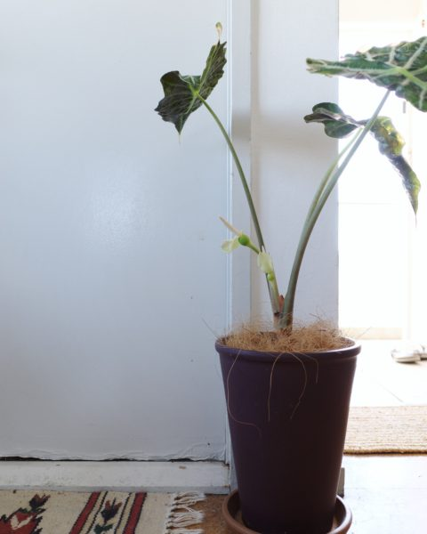 アロカシア・ポリー(アマゾニカ) 花