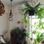 【植物のおすすめディスプレイ】ビカクシダをベッドの上にハンギング