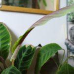 鮮やかで美しい、カラテア・ワルセウィッチの新葉