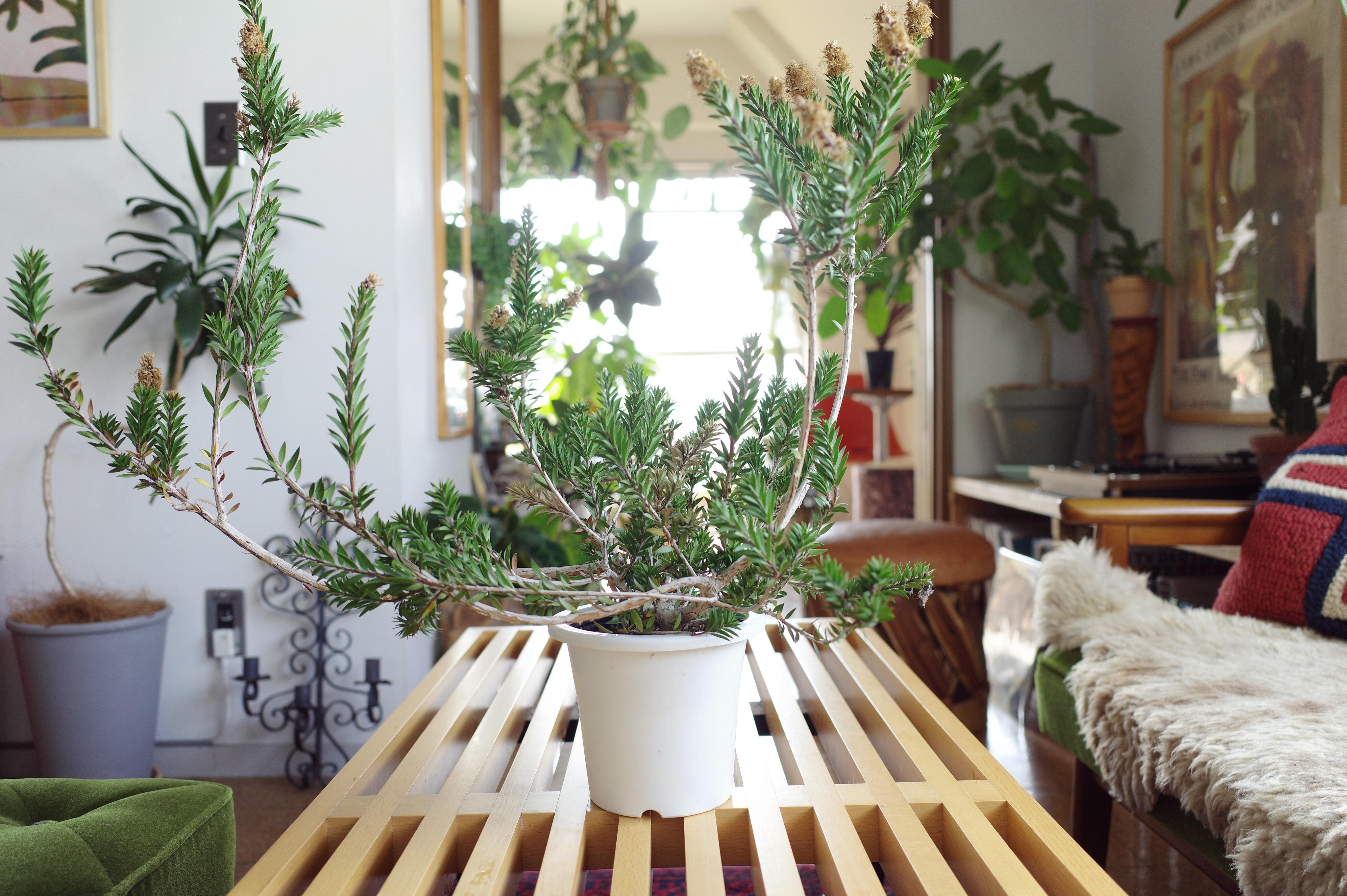 カリステモン ブラシの木