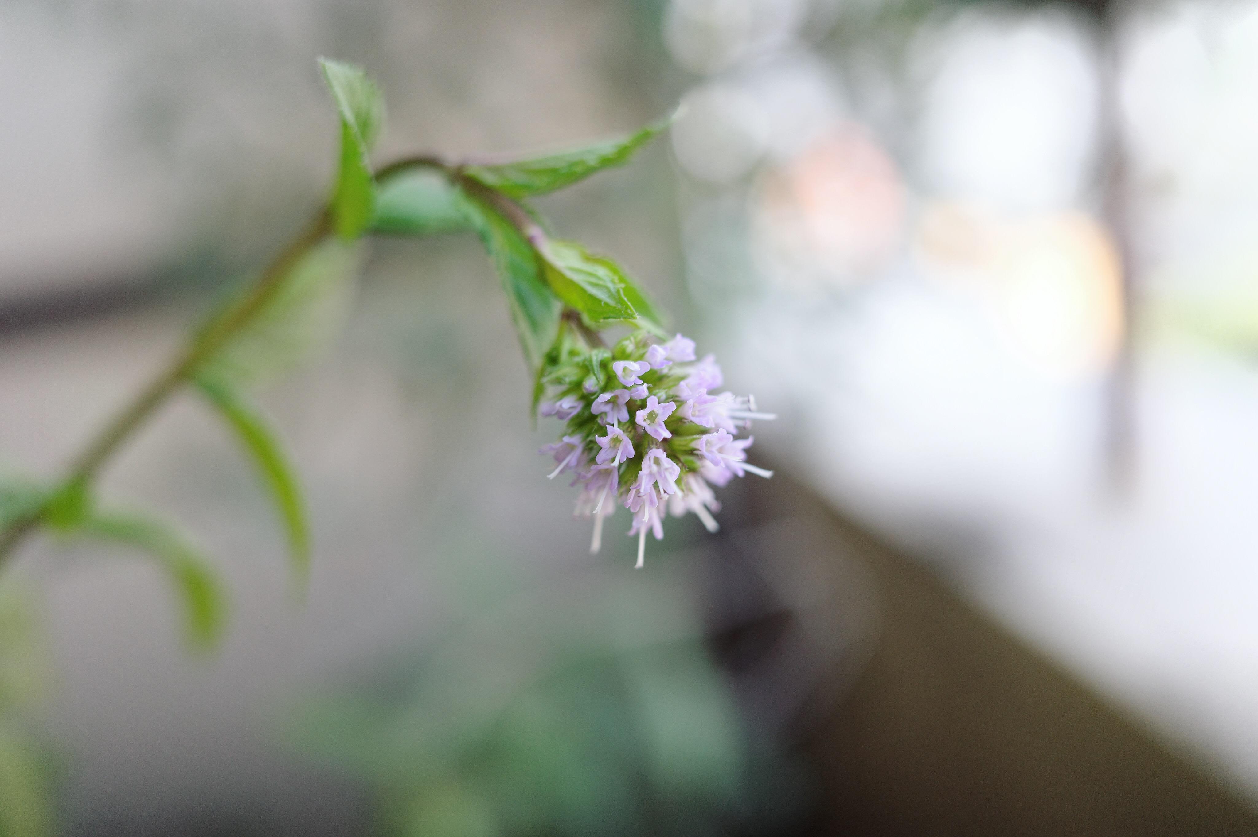 ミント 花