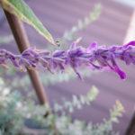 アメジスト・セージの花と生長