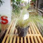 秋が似合う植物【スティパ】