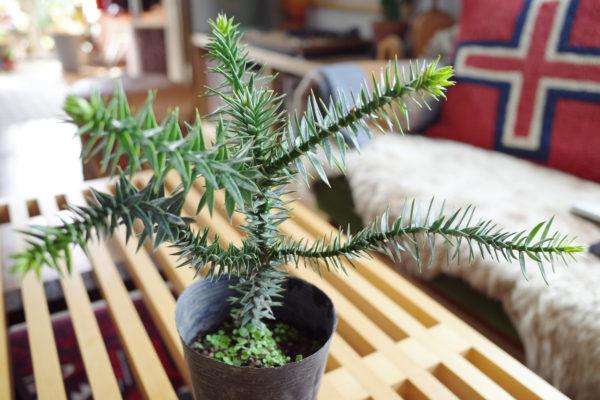 太古感あふれる丈夫な植物【モンキーパズル・ツリー】