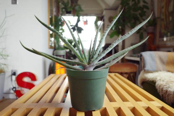 オザキフラワーパークで購入した植物【アロエ・スプラフォリアータ】