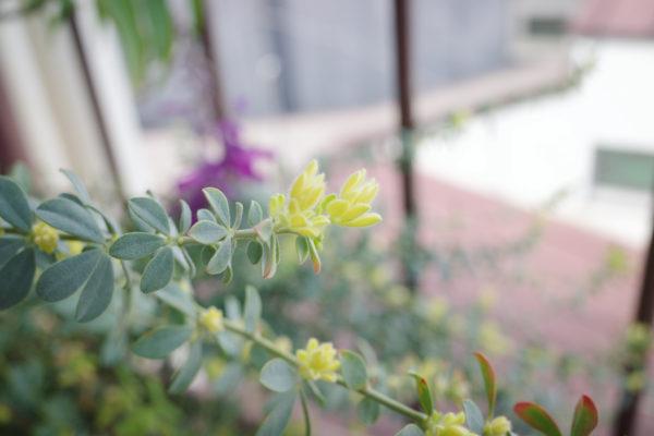 ロータスブリムストーン 葉
